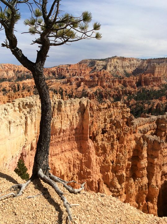 Bryce Canyon Tree from top - T. Reinhard