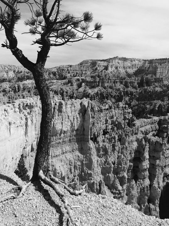 Bryce Canyon Tree on Cliff - T. Reinhard