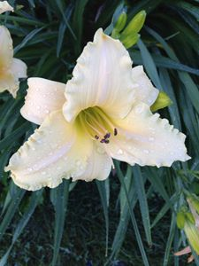Lily in Morning Dew