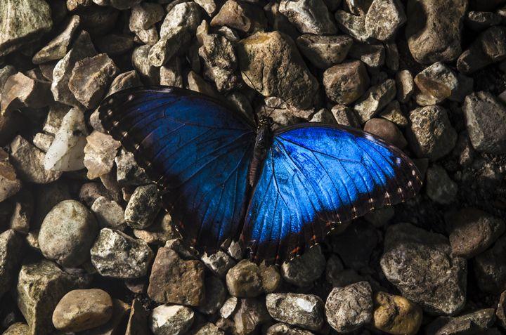 Blue Morpho on Gravel - Randy Carcamo