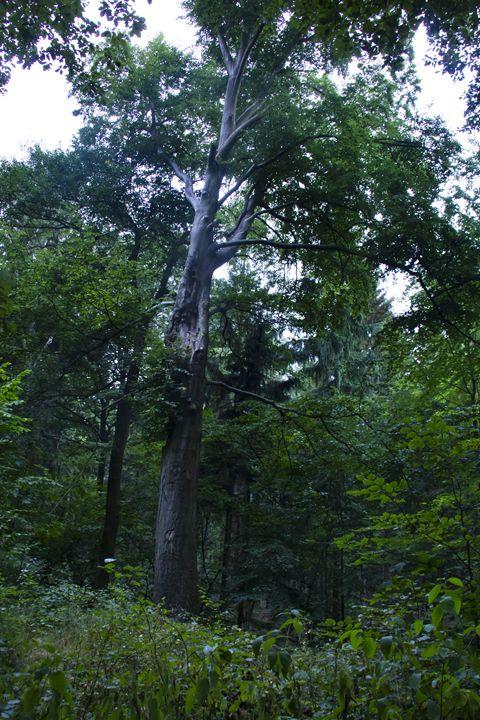 The trees' king - Roman Kolpakov's Photography