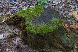A magnificent stump