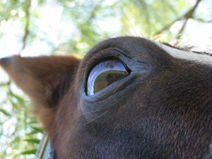 Horse eye focused