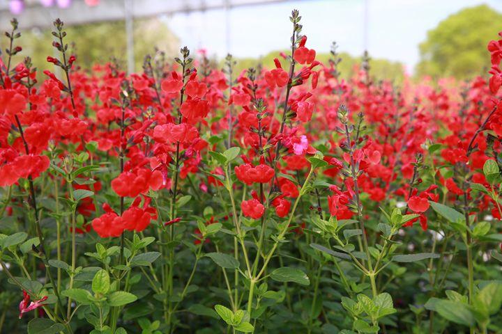 Fleurs rouges - Benoit Boch