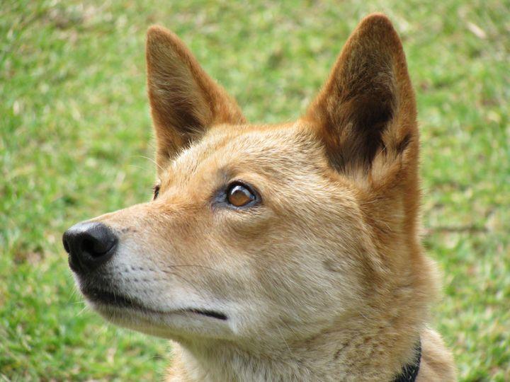Dingo Stare - SCS Creations