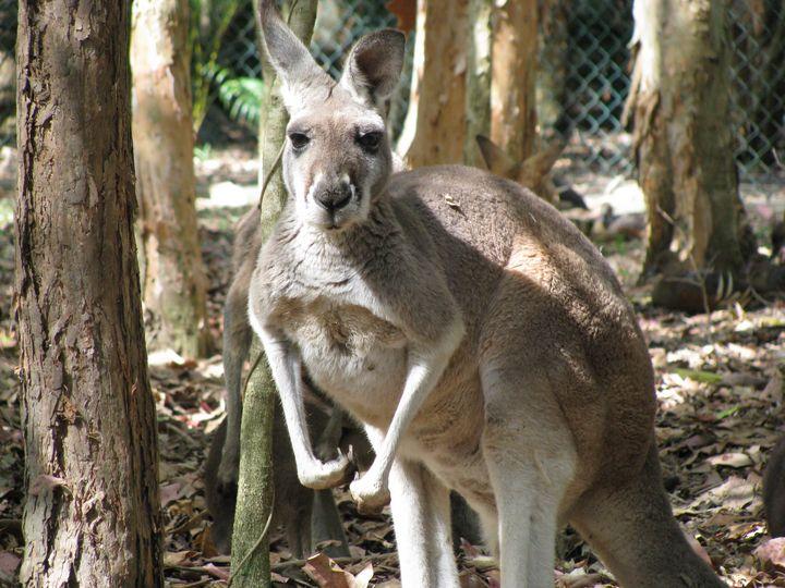 Kangaroo - SCS Creations