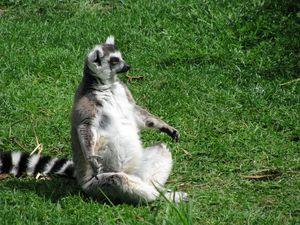 Lemur Sunbaking