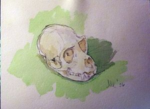 Vervet Monkey Skull Watercolor