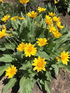 Mountain Wild Flowers