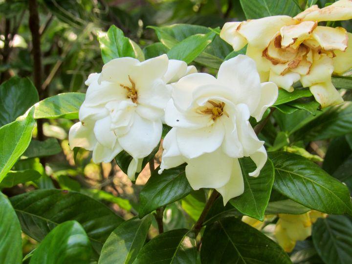 Magnolia Dream - Lillibae