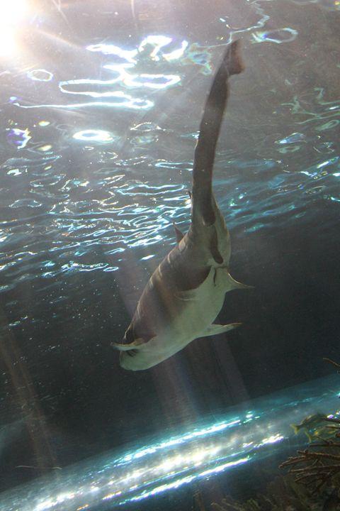 Swimming Shark 2 - C. N. Gray Photos