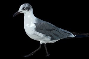 Not so Laughing Gull