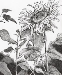 Analise's Sunflowers
