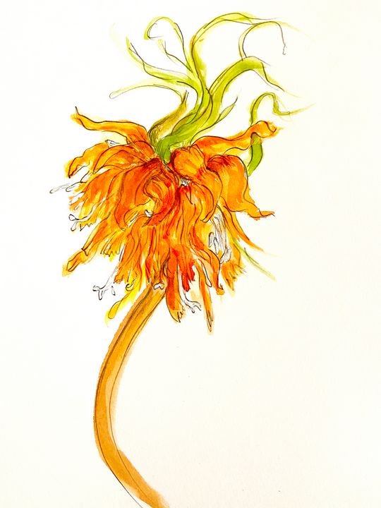 Fritillaria Imperialis - Barbara E Wyeth