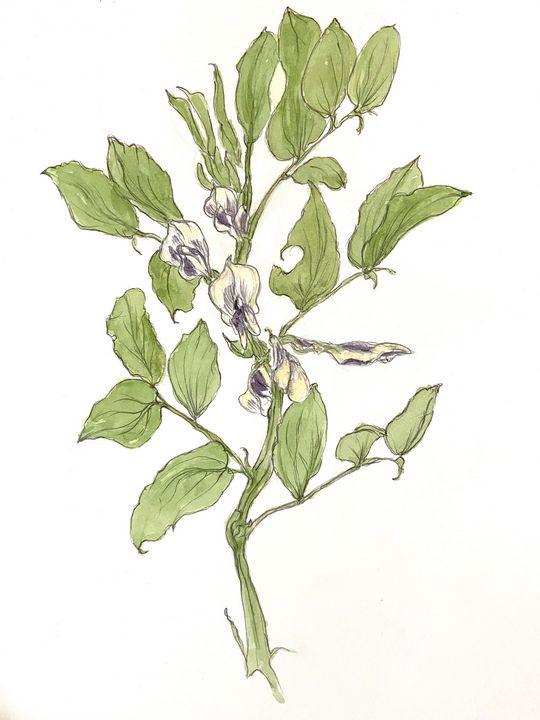 Fava in Flower - Barbara E Wyeth