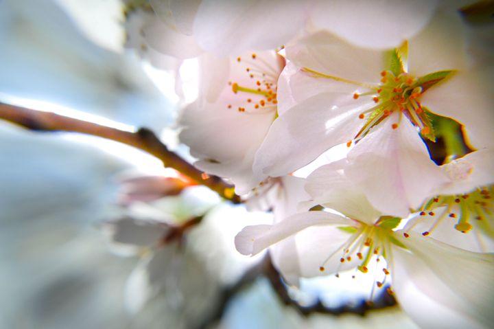 White Cherry Blossoms - Miranda Strap