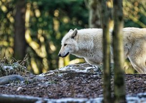 White Wolf - Sunset Blossom Photography