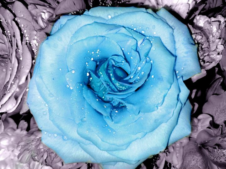 Blue rose - Casey's Art and Photography