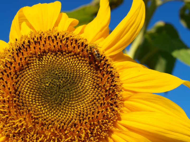 Sunflower and Bee - Christopher Johnston
