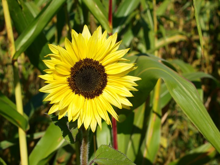 Young Sunflower - Christopher Johnston