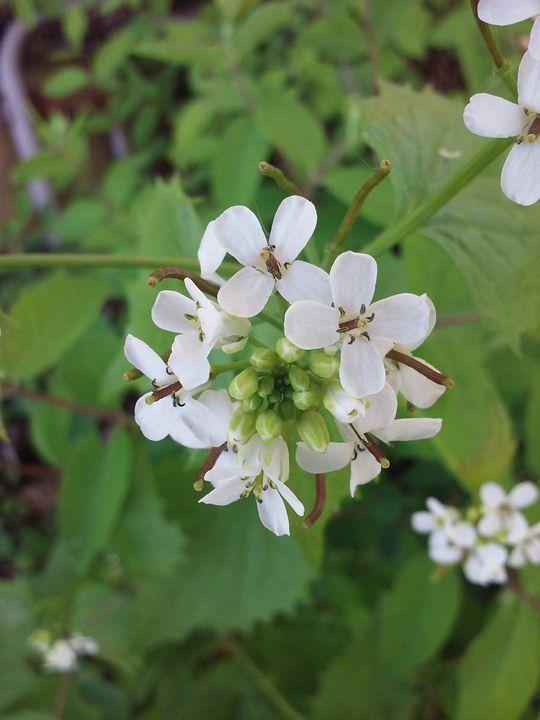 White flower cluster - veeralinndot