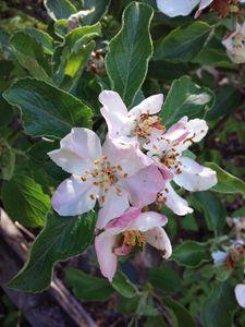 Apple blossoms - veeralinndot