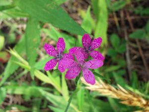 Tiny purple flowers - veeralinndot