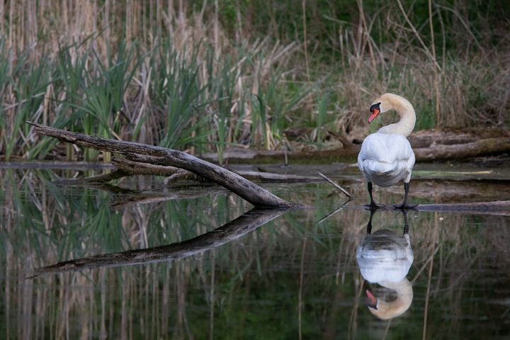 Swan Reflections - Markus Hofstätter