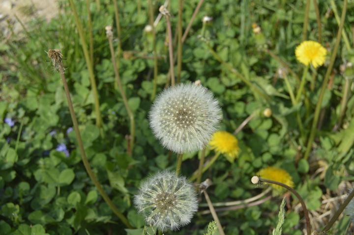 Bloomed Dandelion - KayDreamer's Photography