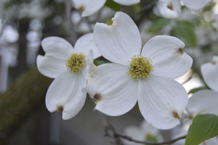 White Flowers - KayDreamer's Photography