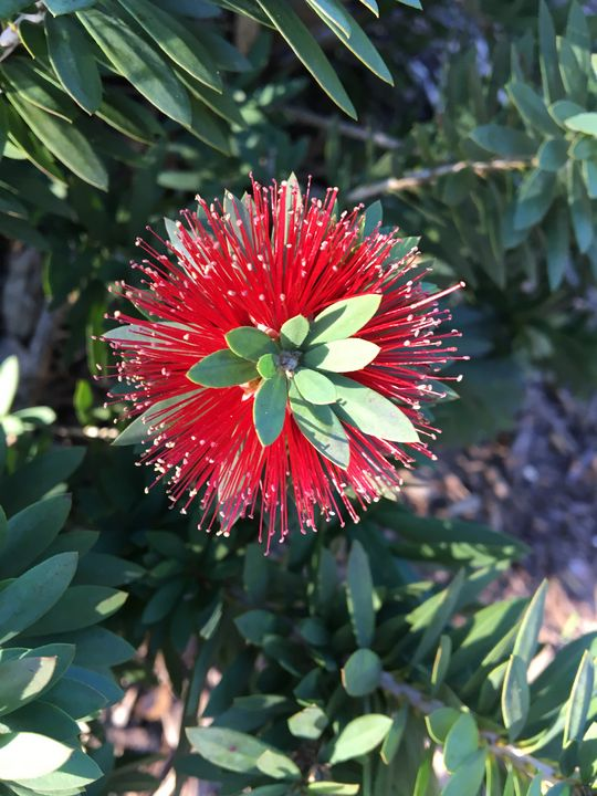 Beautiful Christmas Colored Flower - KayDreamer's Photography