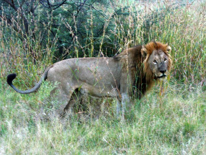 Majestic Lion - Art by Karen Zuk Rosenblatt
