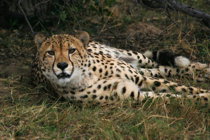 Watchfull Cheetah - Art by Karen Zuk Rosenblatt