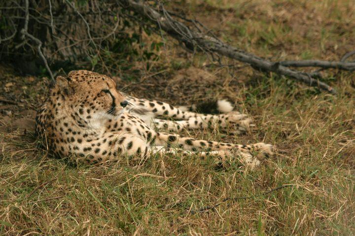 Resting Cheetah - Art by Karen Zuk Rosenblatt