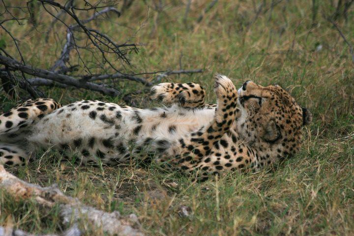 Paws Up Cheetah - Art by Karen Zuk Rosenblatt