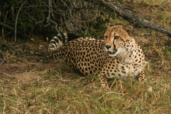 Alert Cheetah - Art by Karen Zuk Rosenblatt