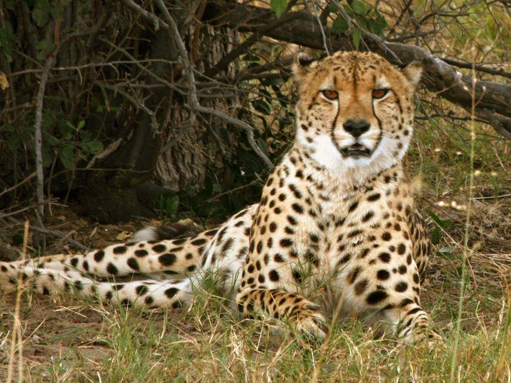 Cheetah Encounter - Art by Karen Zuk Rosenblatt