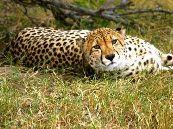 Reclining Cheetah - Art by Karen Zuk Rosenblatt