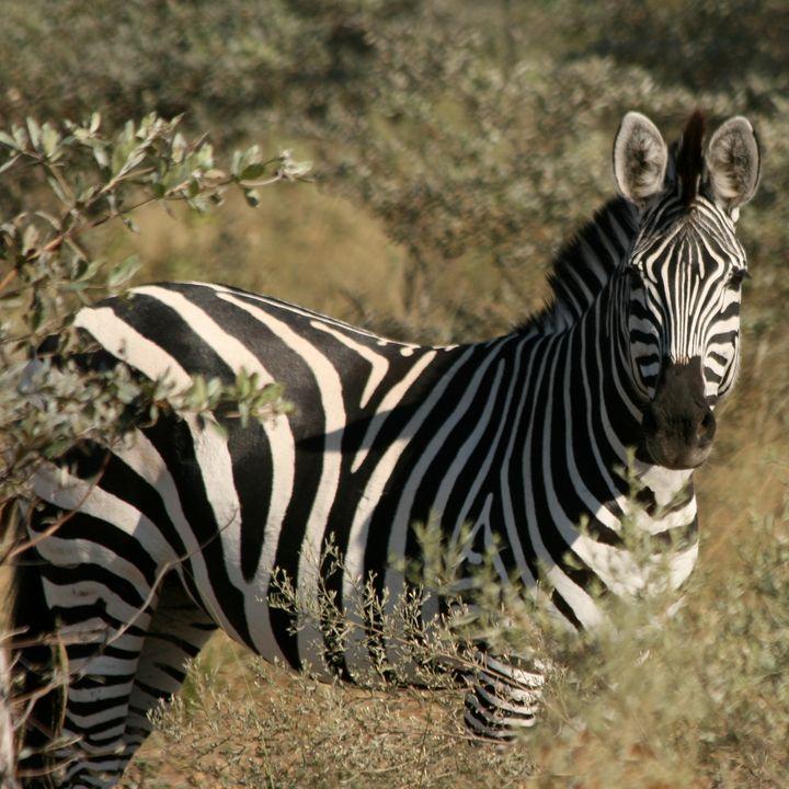 Zebra Portrait - Art by Karen Zuk Rosenblatt