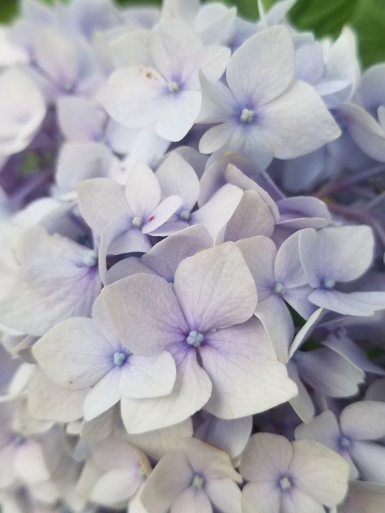 Pale Purple Bloom - Psilos