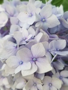 Pale Purple Bloom