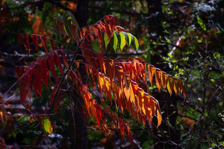 Autumn Sumac - Su Buehler Photography