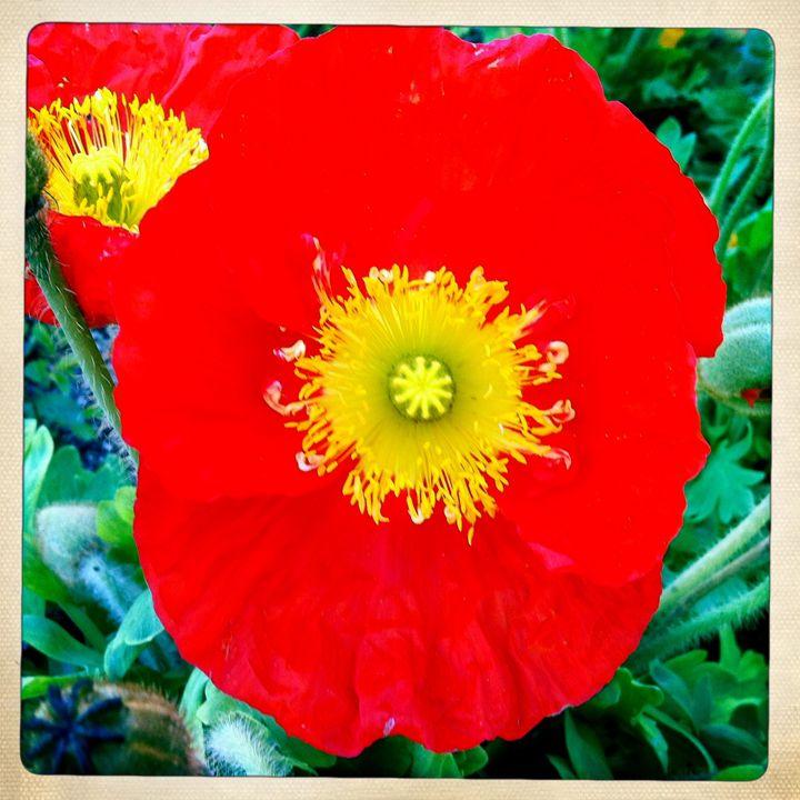 Sunburst flower - Tommy Foster