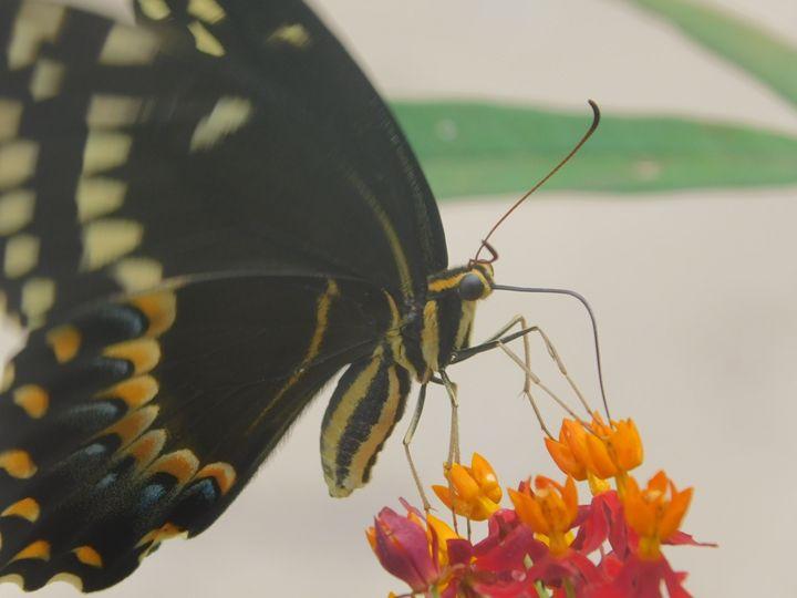 Black swallowtail - Rochelle Williams