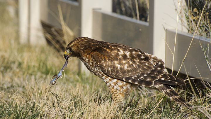 Red Shouldered Hawk - Jason Lighthall Photography
