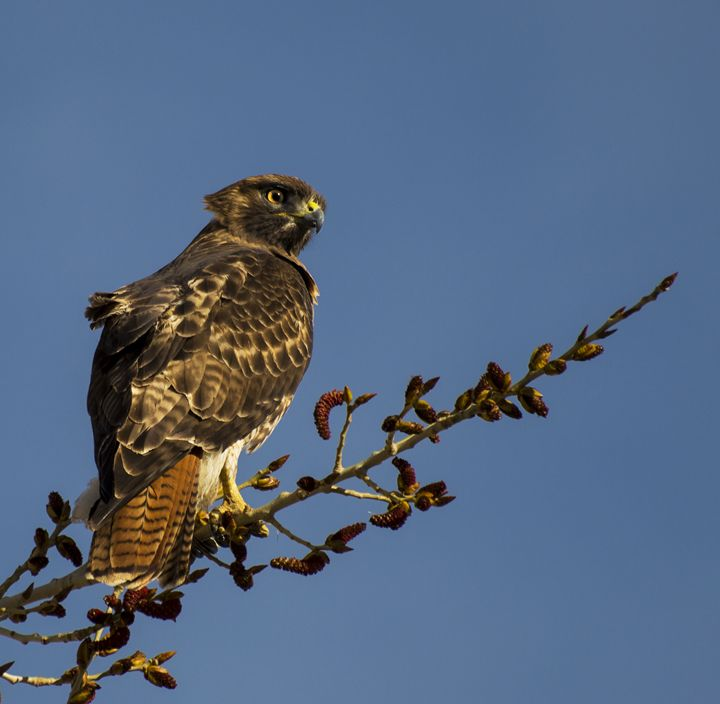 Red Tailed Hawk - Jason Lighthall Photography
