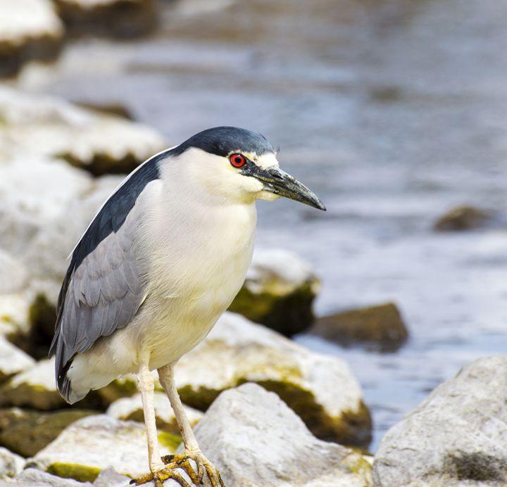 Black Crowned Night Heron - Jason Lighthall Photography