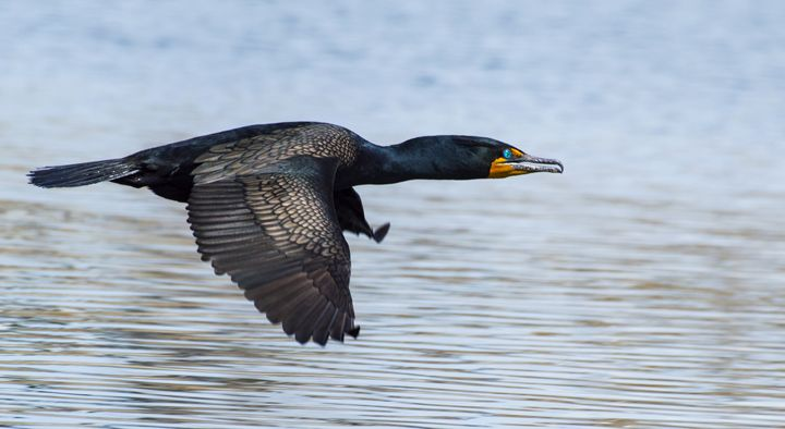Double-Crested Cormorant - Jason Lighthall Photography