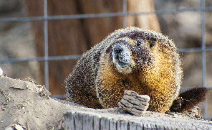 Marmot - Jason Lighthall Photography