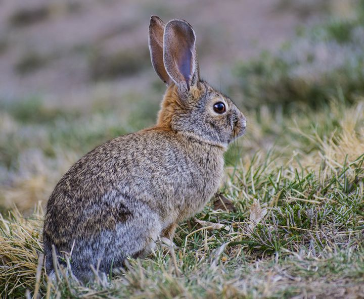 Cottontail Rabbit - Jason Lighthall Photography